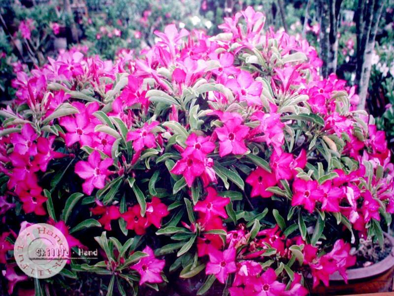 Adenium seeds arabicum Desert Rose Taiwan1