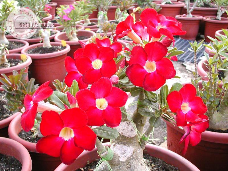 Price List  Adeniumseedscom  Thailands Leading Adenium