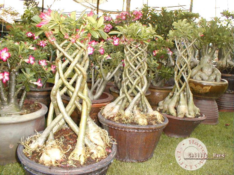 Адениумцветок выращивание 73