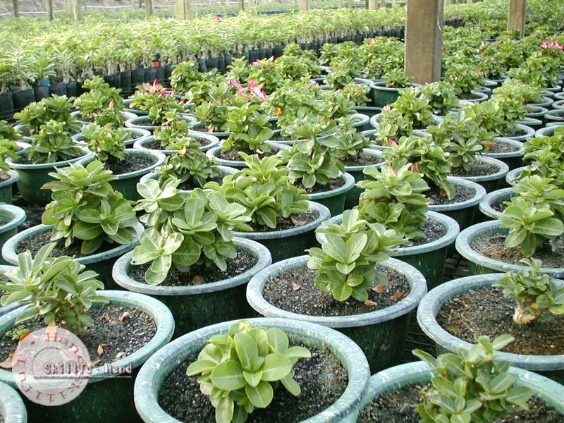 Adenium seeds arabicum Desert Rose Taiwan13