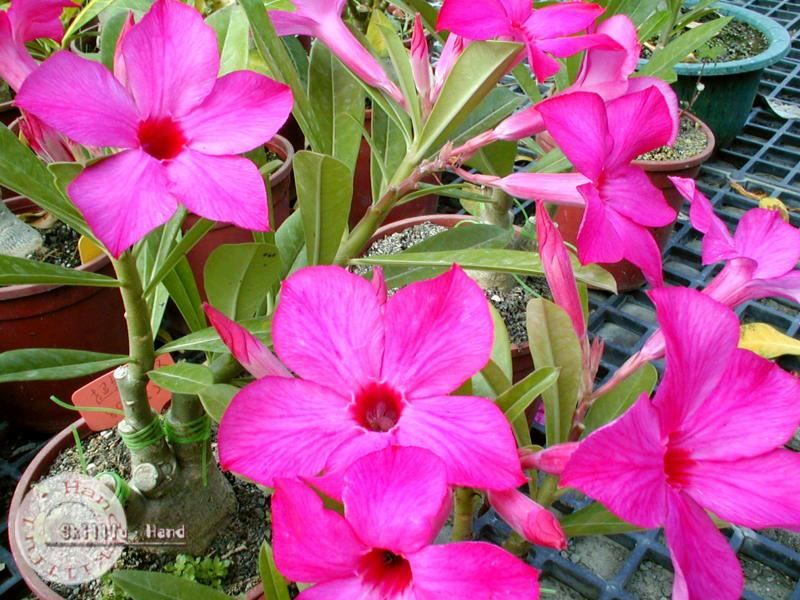 Adenium seeds arabicum Desert Rose Taiwan2
