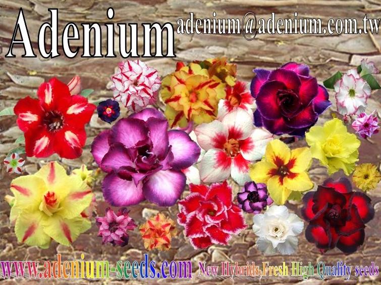 Adenium  SunshineSeeds