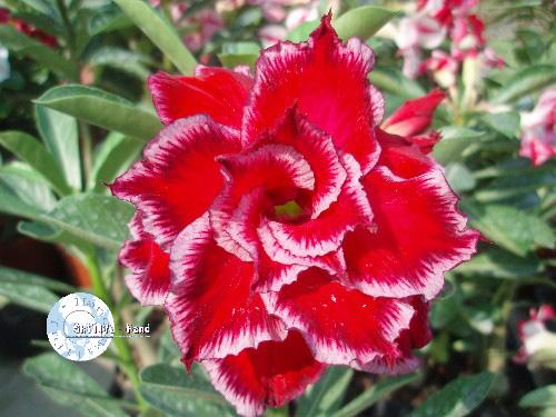 Adenium seeds arabicum Desert Rose Taiwan experience
