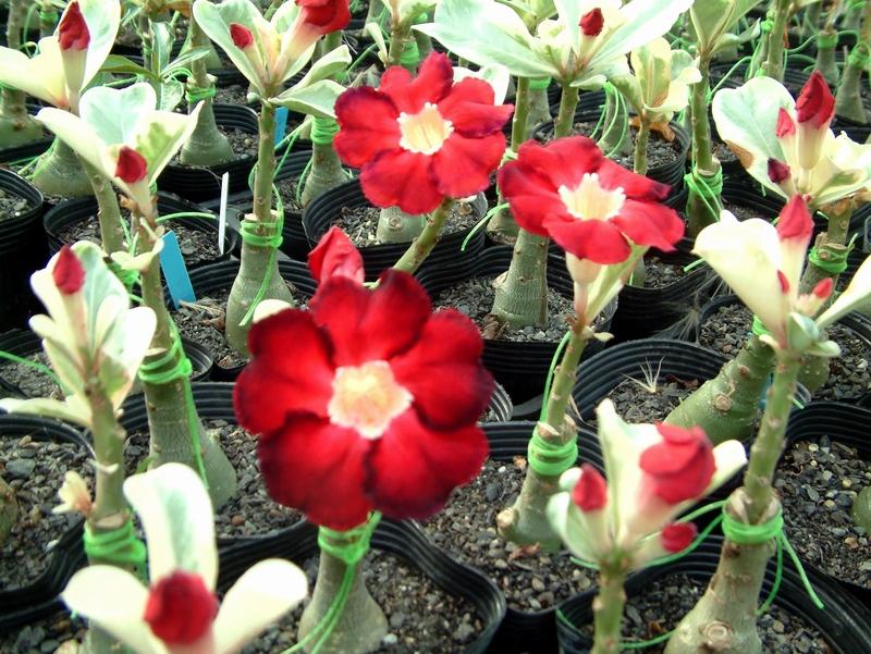 Milky White /& Deep Red Adenium Garden Flower Seeds Double Petals Desert Rose Pot
